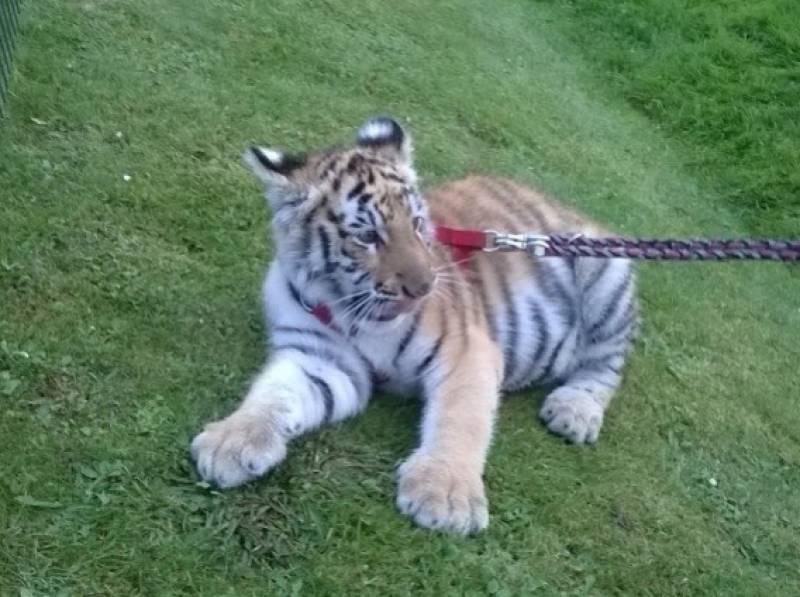animation tigre